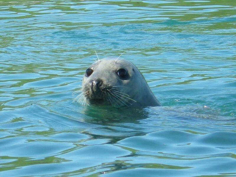 seal-in-pembrokeshrie