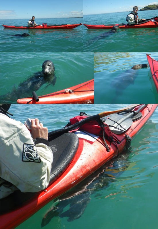 seal-hugging-around-Skomer-island