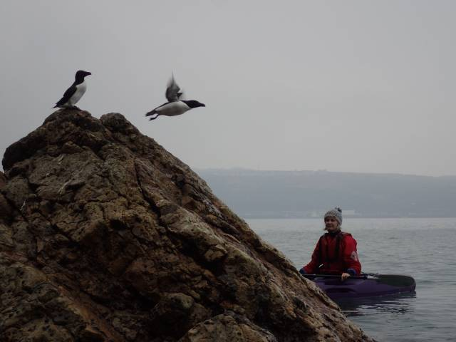 Razorbill flying off rock past kayak